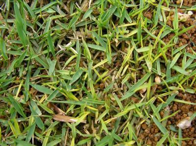 芝生の黄化現象