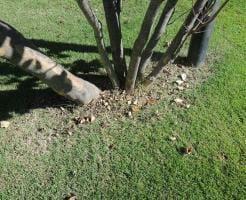 アレロパシーによって植木周辺の芝生が生えない