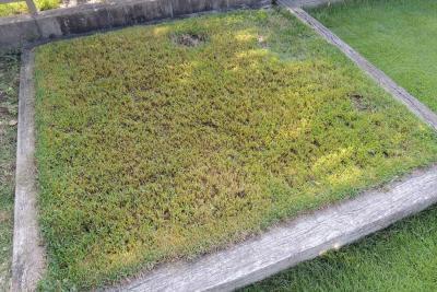 伸ばし放題の芝を刈って軸刈りになった様子