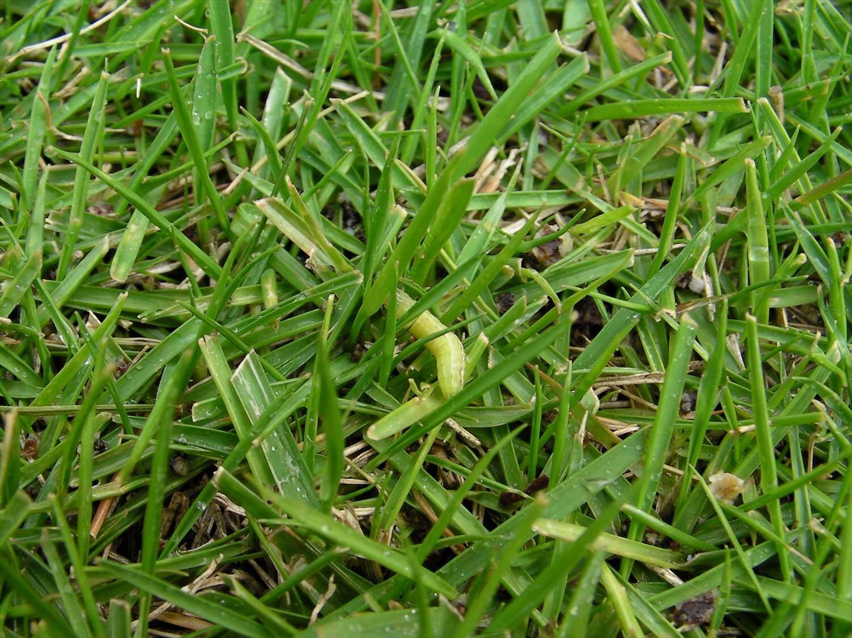 害虫 芝生 芝生の害虫