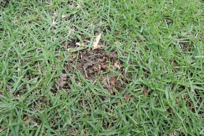 除草剤で枯れてゆく芝生の雑草アカカタバミ