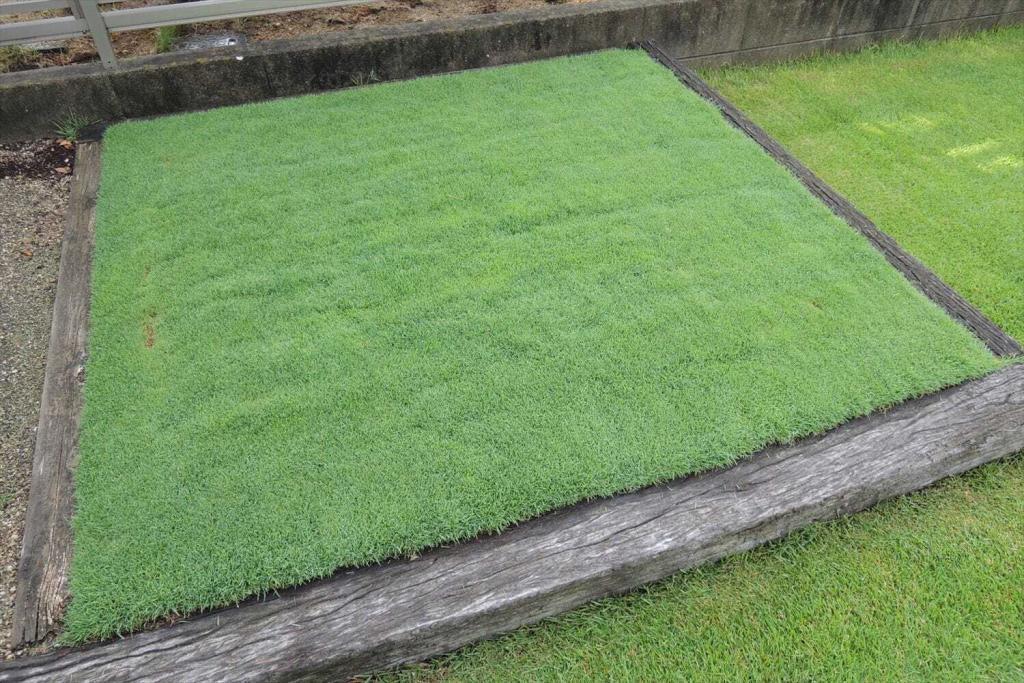 25ミリで芝刈りしたベントグラス