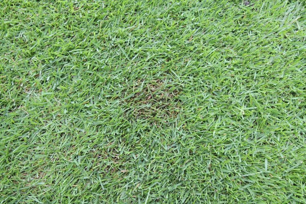 梅雨入りと同時に芝生にパッチが発生