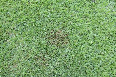 カーブラリア葉枯病のパッチ