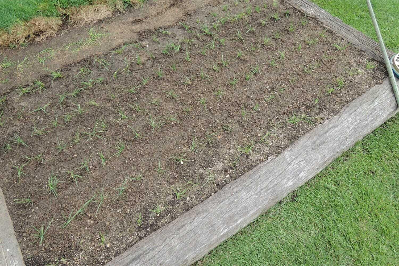 田植え方式で植えたベントグラス
