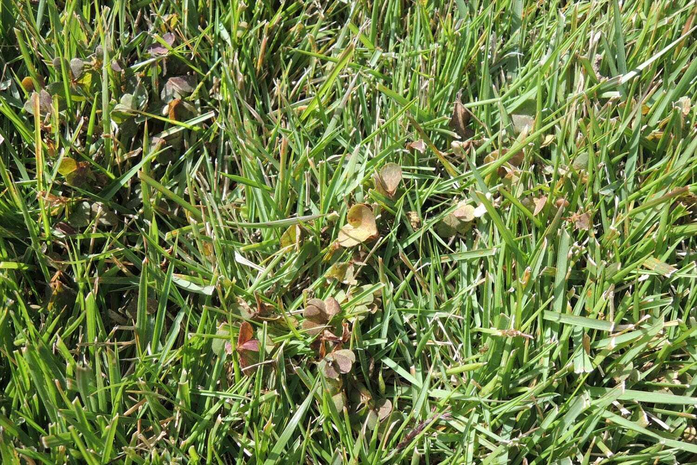 除草剤で枯れつつあるアカカタバミ