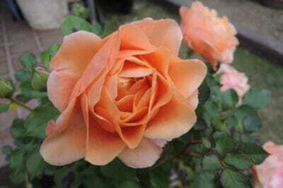 オレンジ色のミニバラ