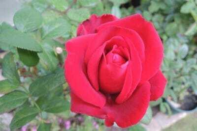 赤いバラ ヘルツアス