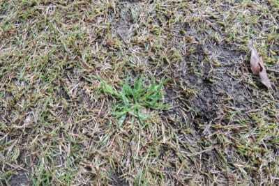 芝生の雑草スズメノカタビラ