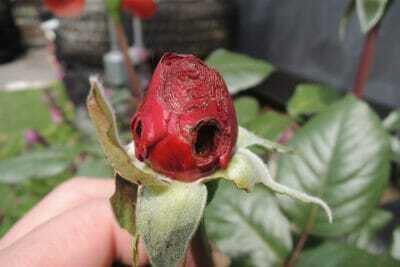 害虫に食べられたバラの花