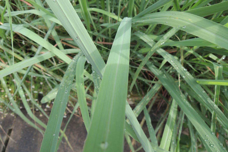芝生の調子が悪くなりやすかった今年の梅雨