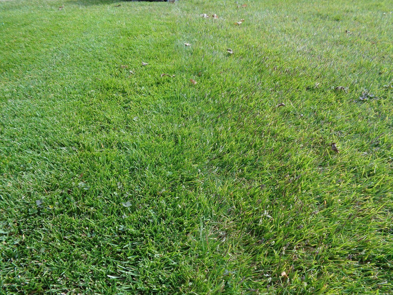 姫高麗芝の穂刈りとpH下降剤の散布